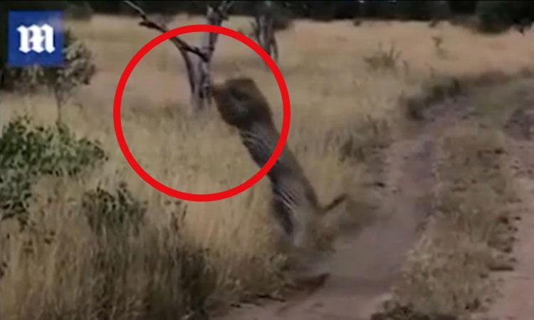 Báo đốm dùng 'khinh công' tóm gọn chim đang bay