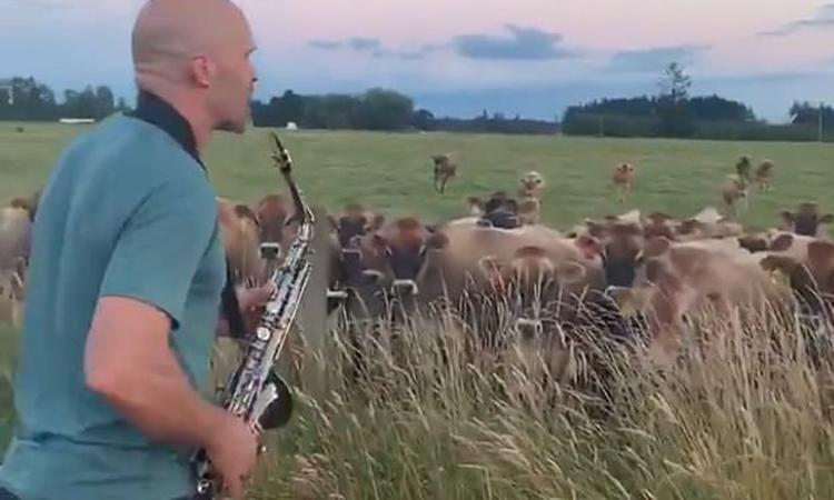 Ông bố ra đồng thổi saxophone cho bò nghe