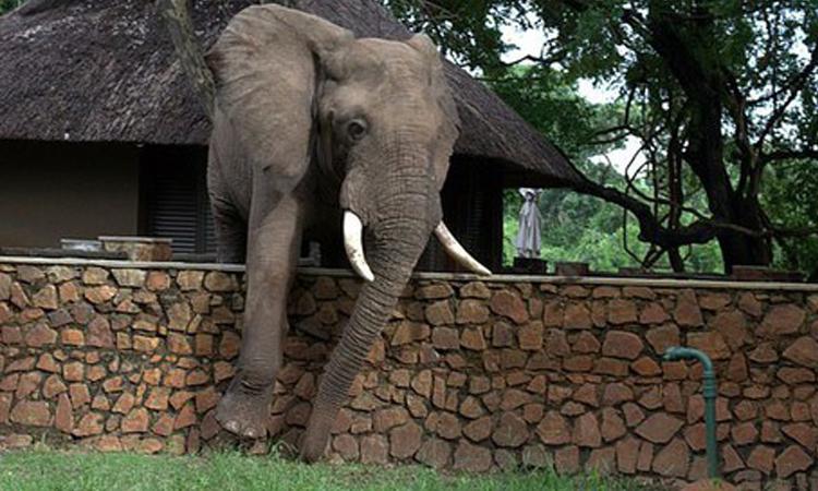 Trèo tường trộm xoài, voi khổng lồ bị bắt quả tang