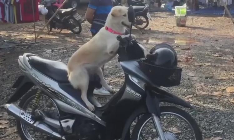 Chó cưng trông xecho cô chủ đi chợ