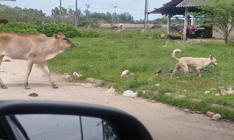 Chó nhà dắt bò đến bãi cỏ xanh