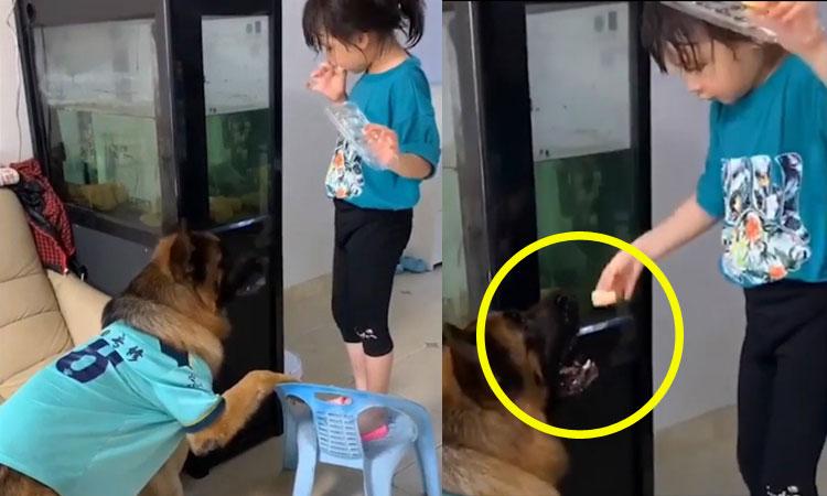 Chó cưng lấy ghế cho cô chủ trộm bánh trên nóc tủ