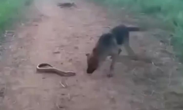 Chó chạy thục mạng vì cắn lươn điện