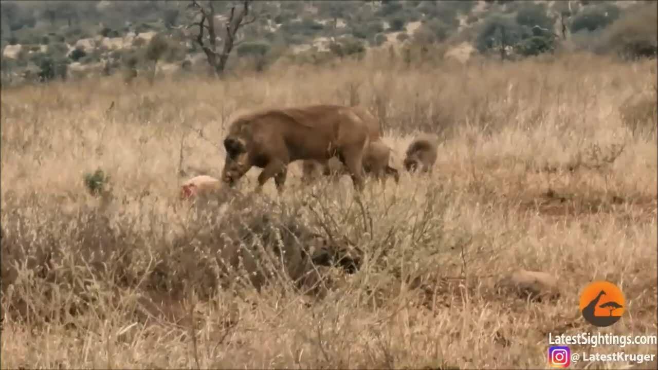Báo săn nhường xác linh dương cho đàn lợn bướu