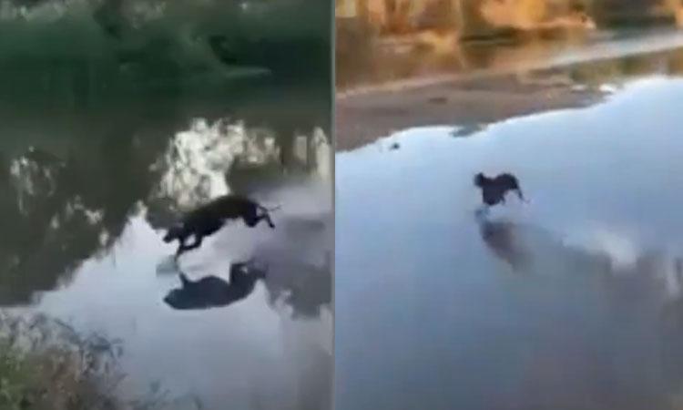Chó dùng 'Lăng ba vi bộ' chạy trên mặt nước