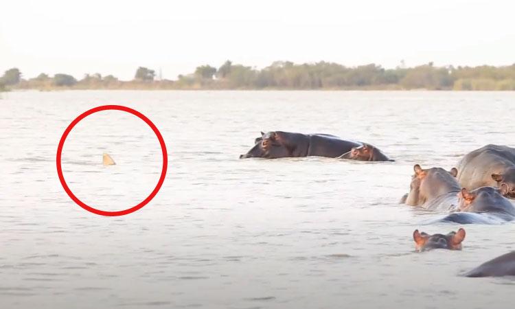 Cá mập chạy té khói vì làm phiền hà mã