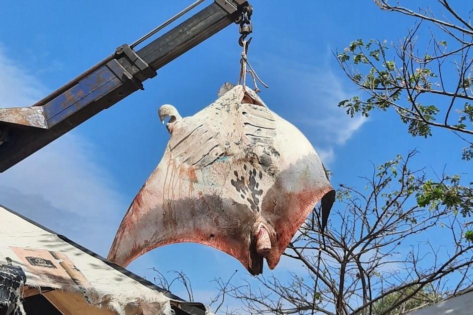 Ngư dân Bình Thuận bắt được cá đuối gần 1 tấn