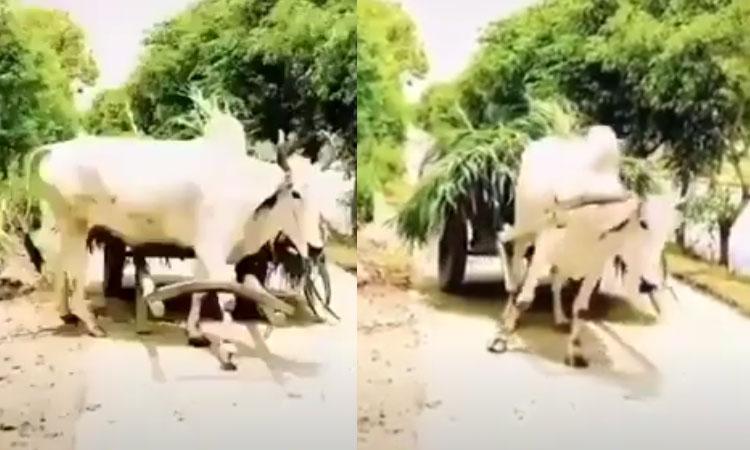 Còn bò 'thông minh nhất quả đất'