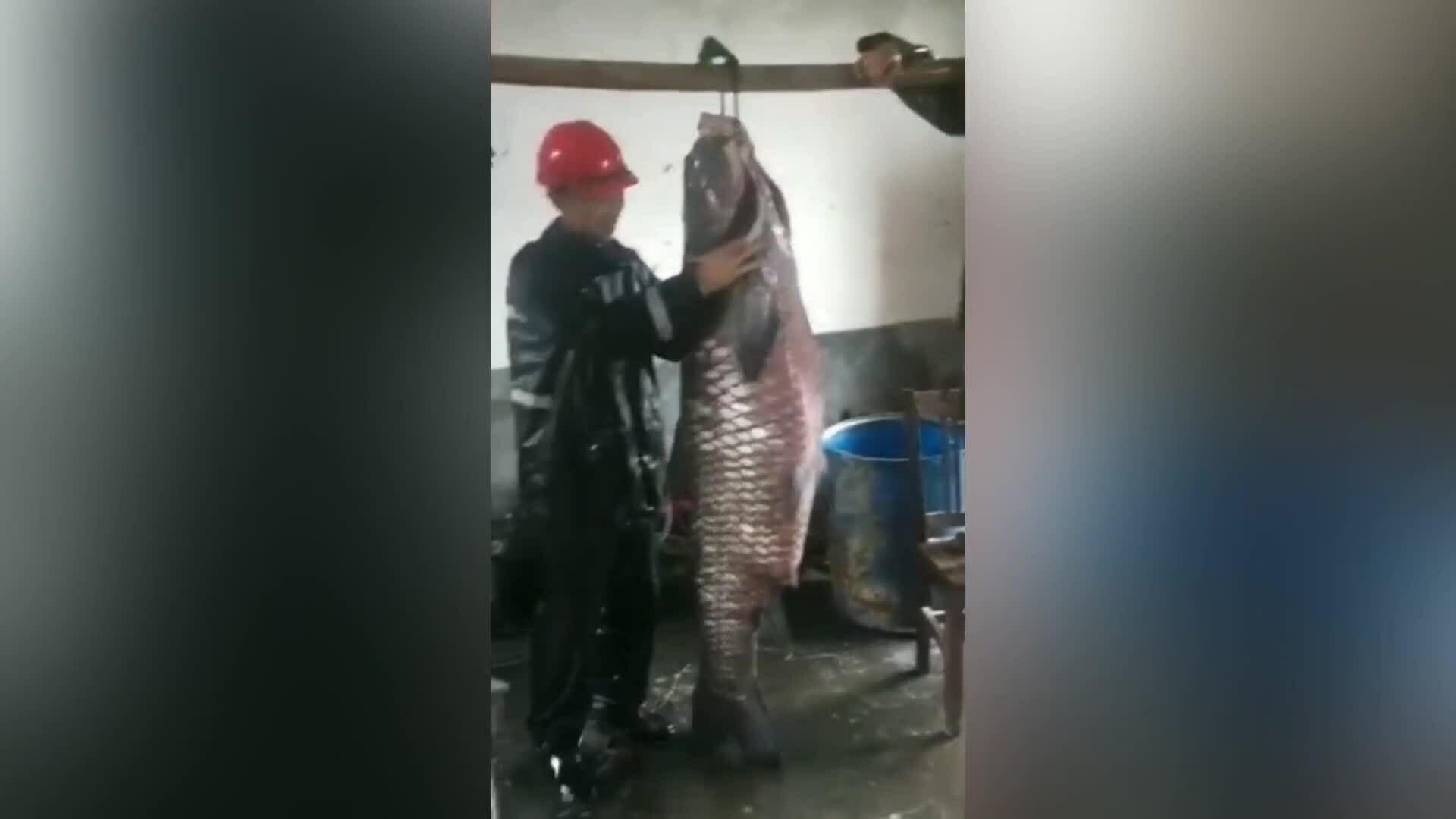 Phát hiện xác cá trắm đen nặng 73 kg