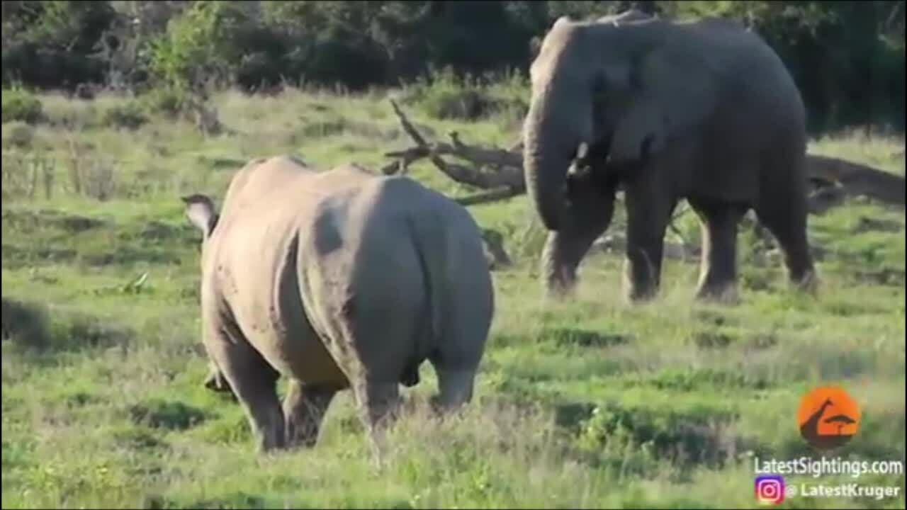 Màn 'chào hỏi' giữa voi và hà mã