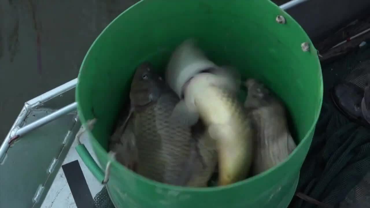 Nam Phi tìm cách diệt trừ cá chép xâm lấn