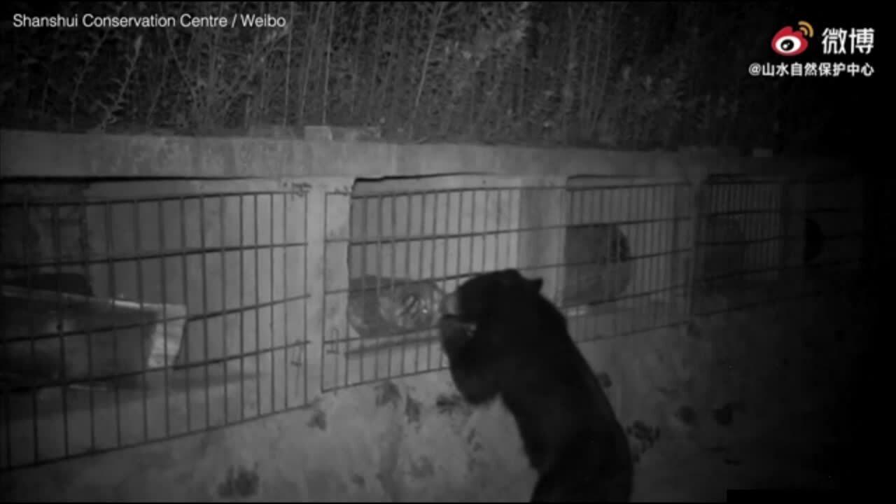Gấu ngựa mò vào khu bảo tồn trộm mật ong