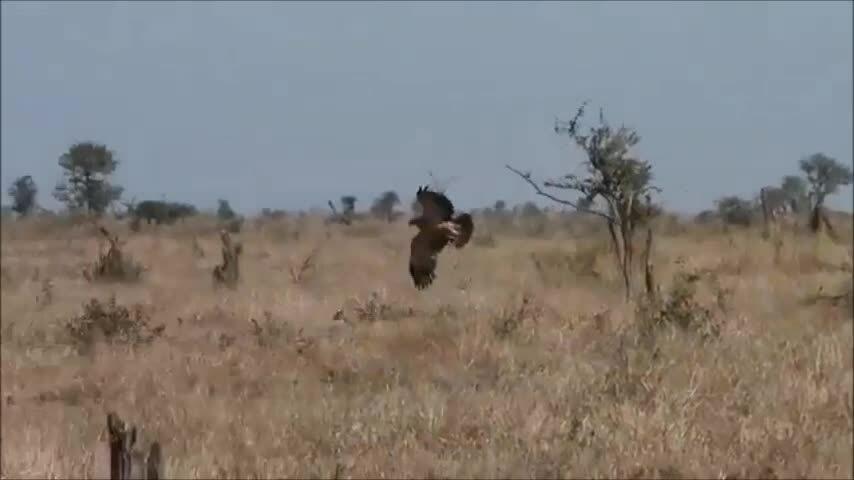 Đại bàng và chó rừng cùng truy bắt linh dương