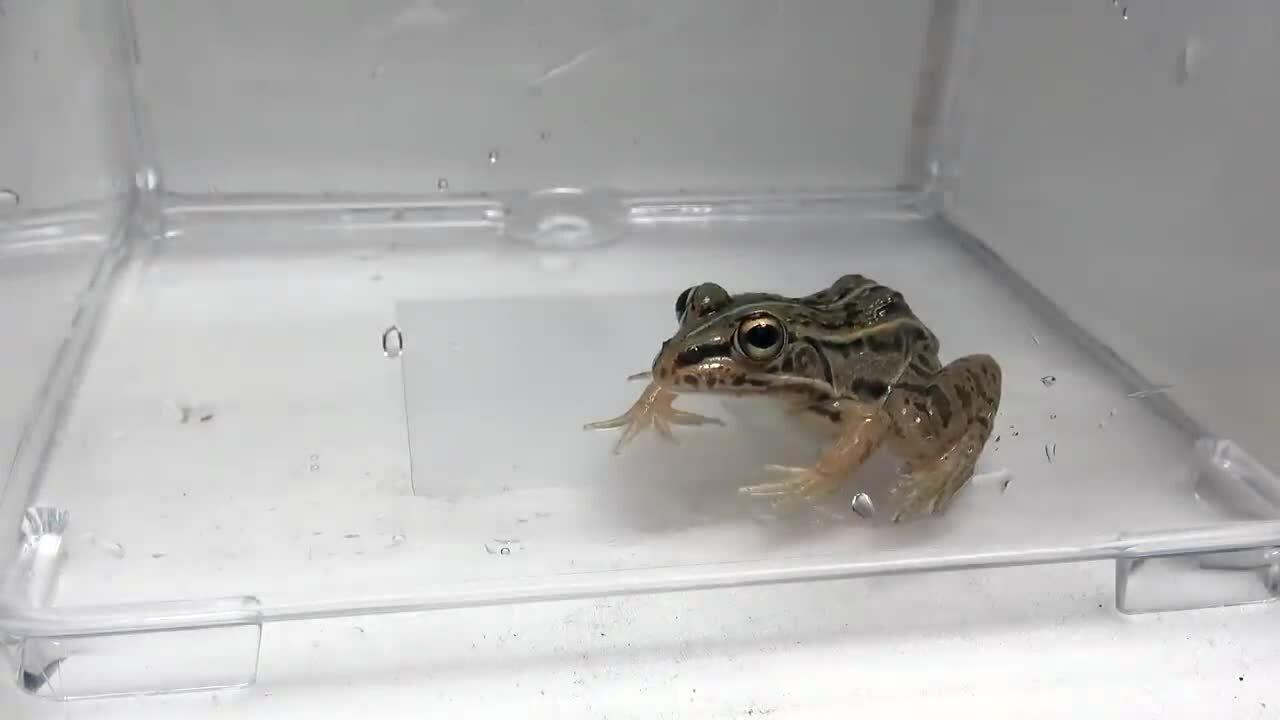 Bọ sống sót sau khi chui ra khỏi hậu môn ếch