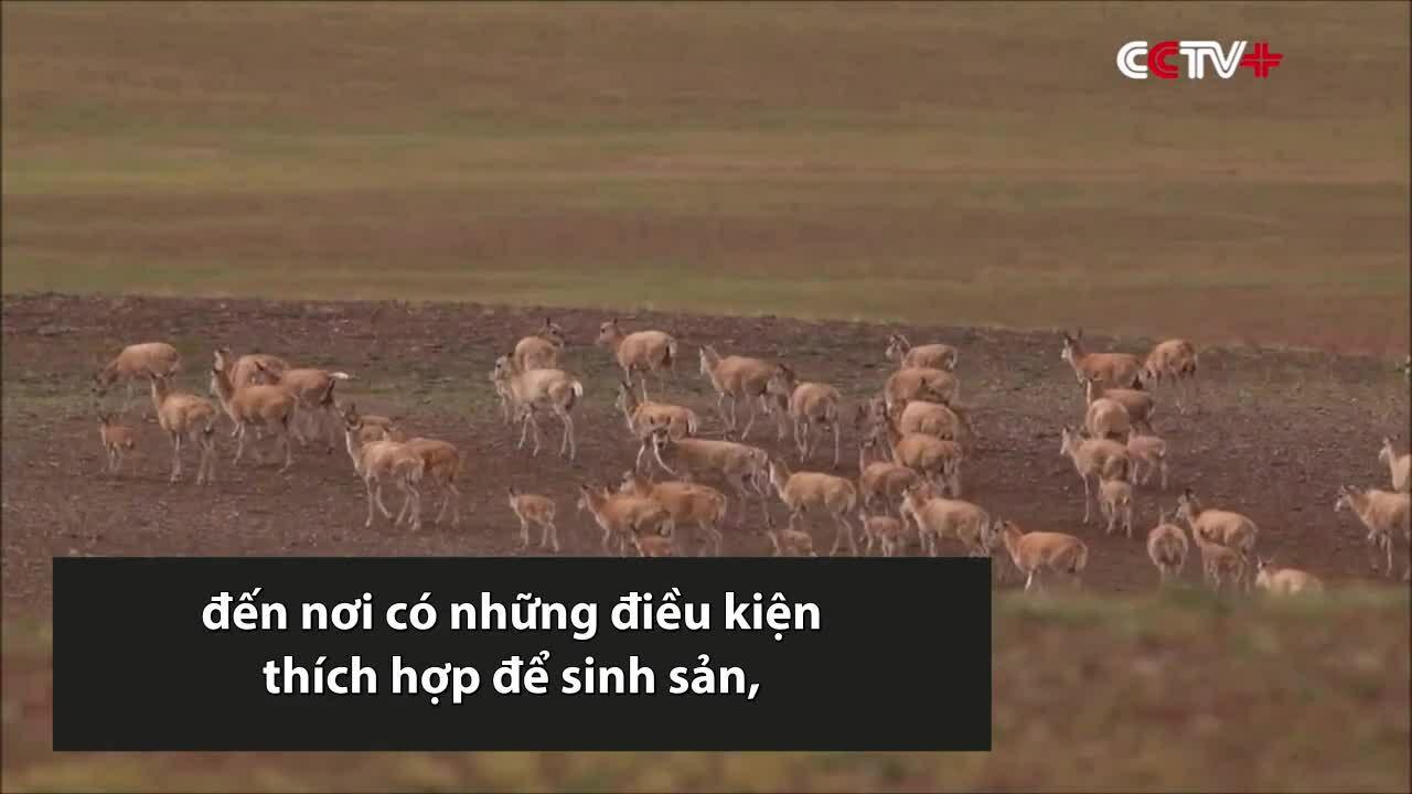 60.000 linh dương Tây Tạng di cư