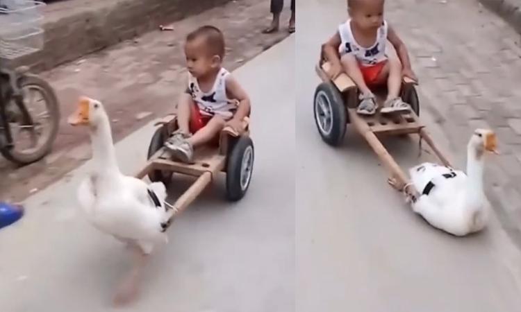 Ngỗng kéo xe chở cậu chủ đi chơi
