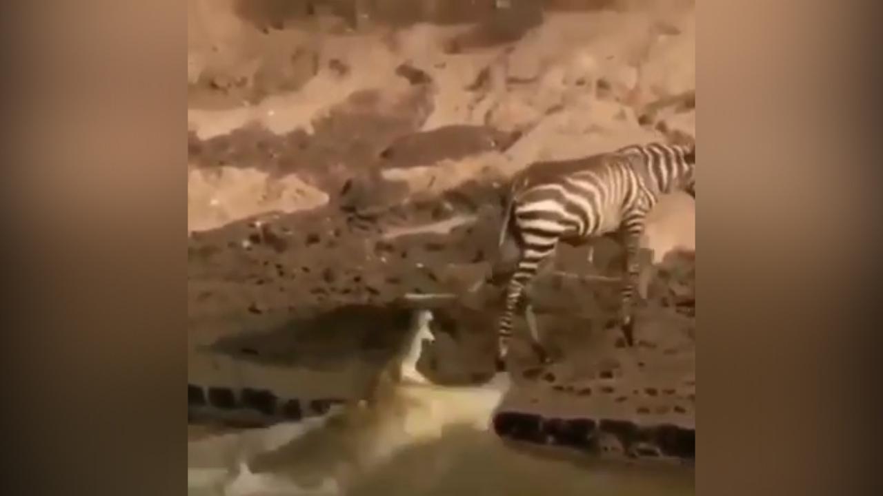 Cá sấu ngậm ngùi vì săn hụt ngựa vằn