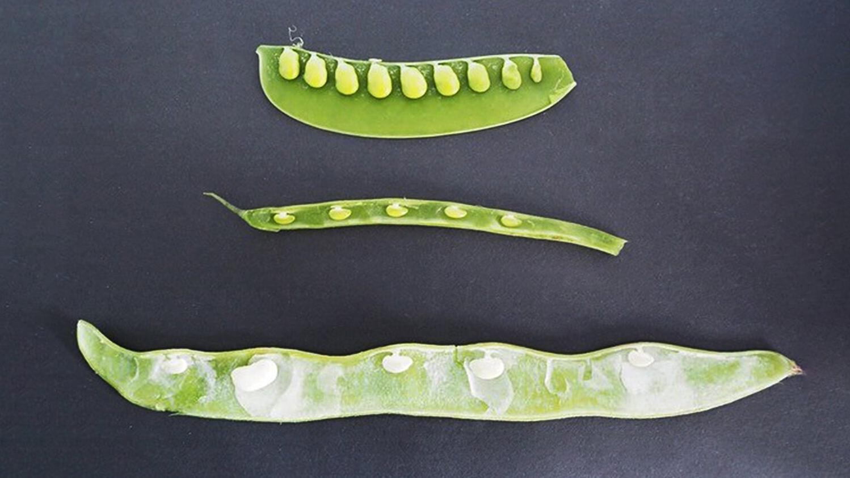 Vì sao các hạt trong quả đậu cách đều nhau?