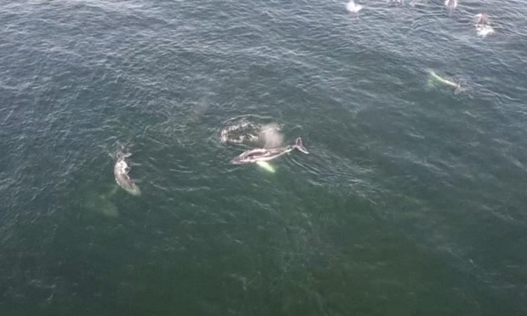 'Đường cao tốc' trên biển của cá voi lưng gù