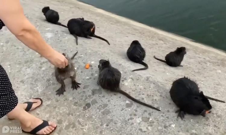 Người phụ nữ mớm thức ăn cho chuột hải ly