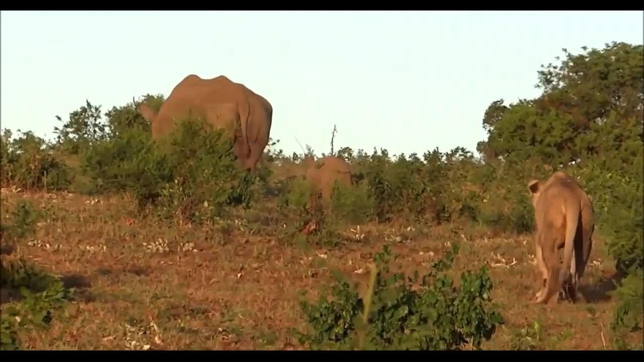 Tê giác mẹ ngăn sư tử ăn thịt con