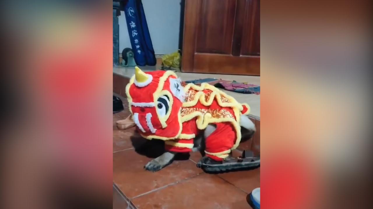 Cún cưng trổ tài múa lân