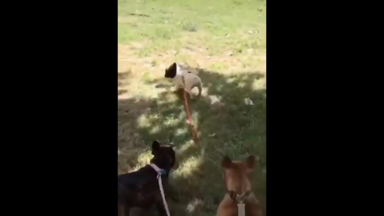Chó cưng cầu cứu chủ khi gặp đối thủ khổng lồ