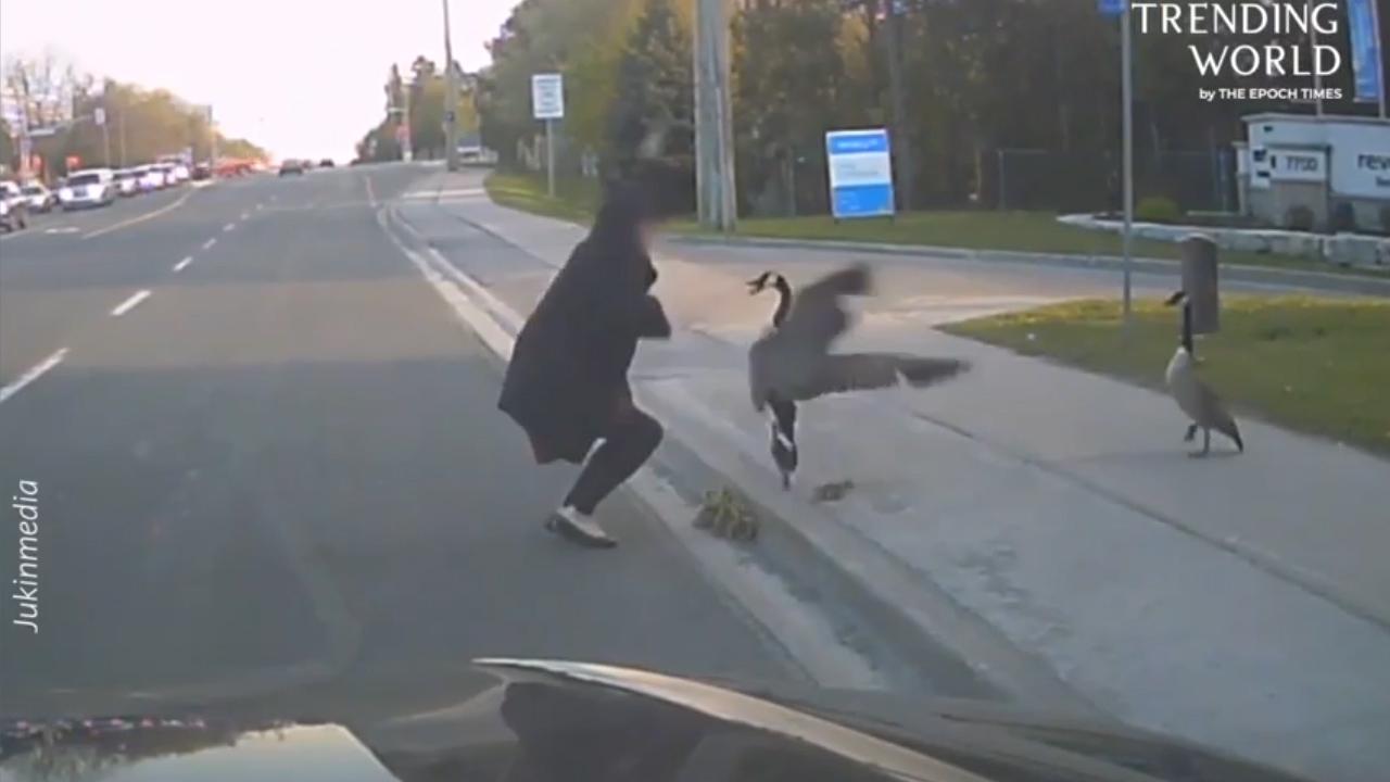 Ngỗng mẹ 'tung cước' vì tưởng cô gái trộm con