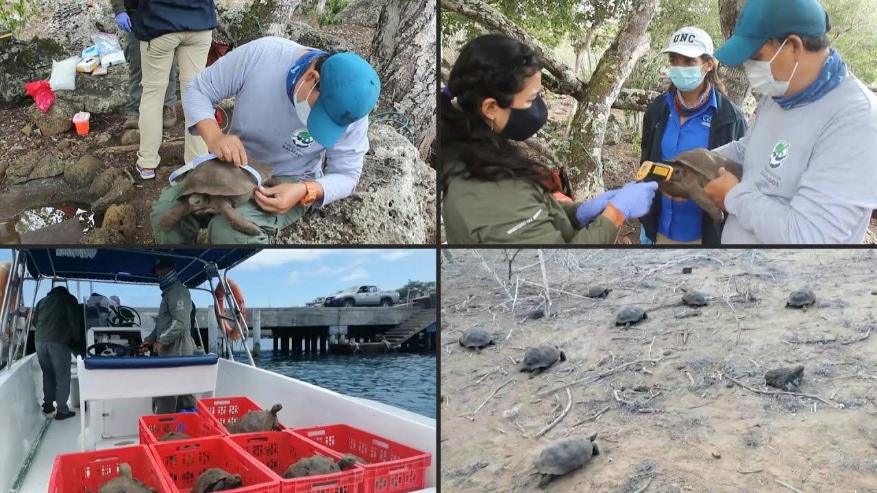 Phóng thích hàng chục rùa khổng lồ Galapagos