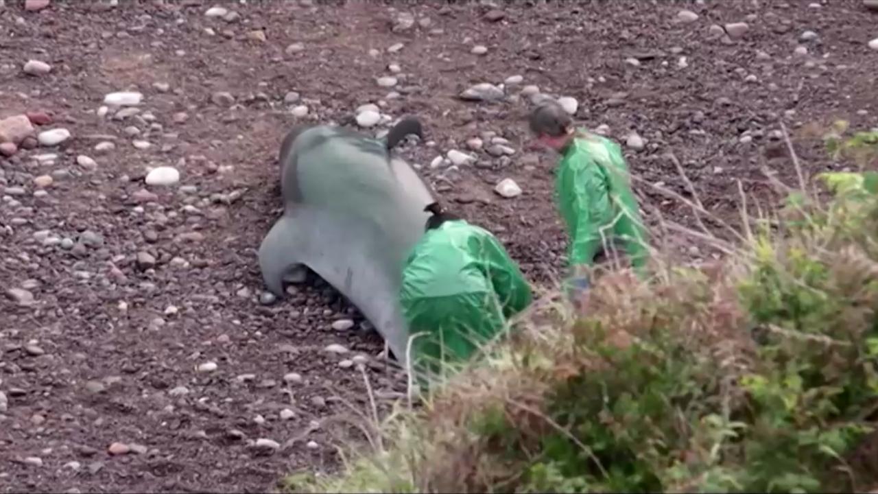 9 con cá voi chết trên bãi biển Moris