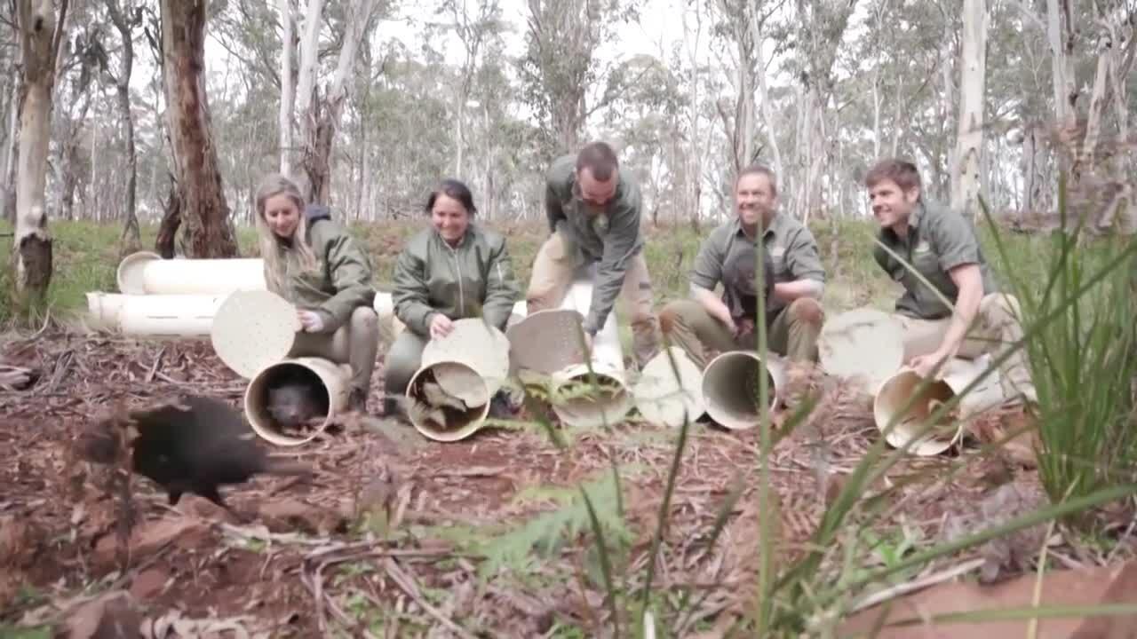 Phóng thích quỷ Tasmania trên Australia đại lục
