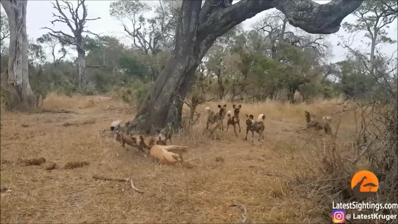 Báo, linh cẩu và chó hoang hỗn chiến tranh mồi