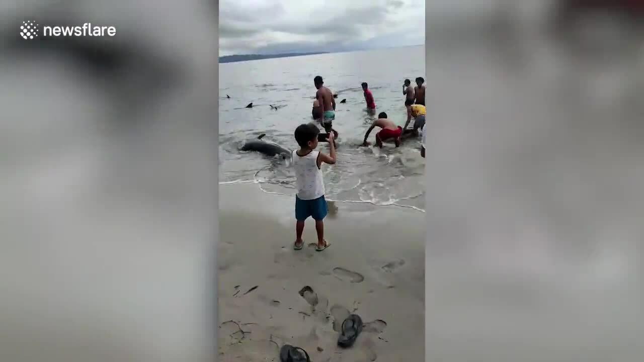 Cá voi đầu dưa mắc cạn hàng loạt
