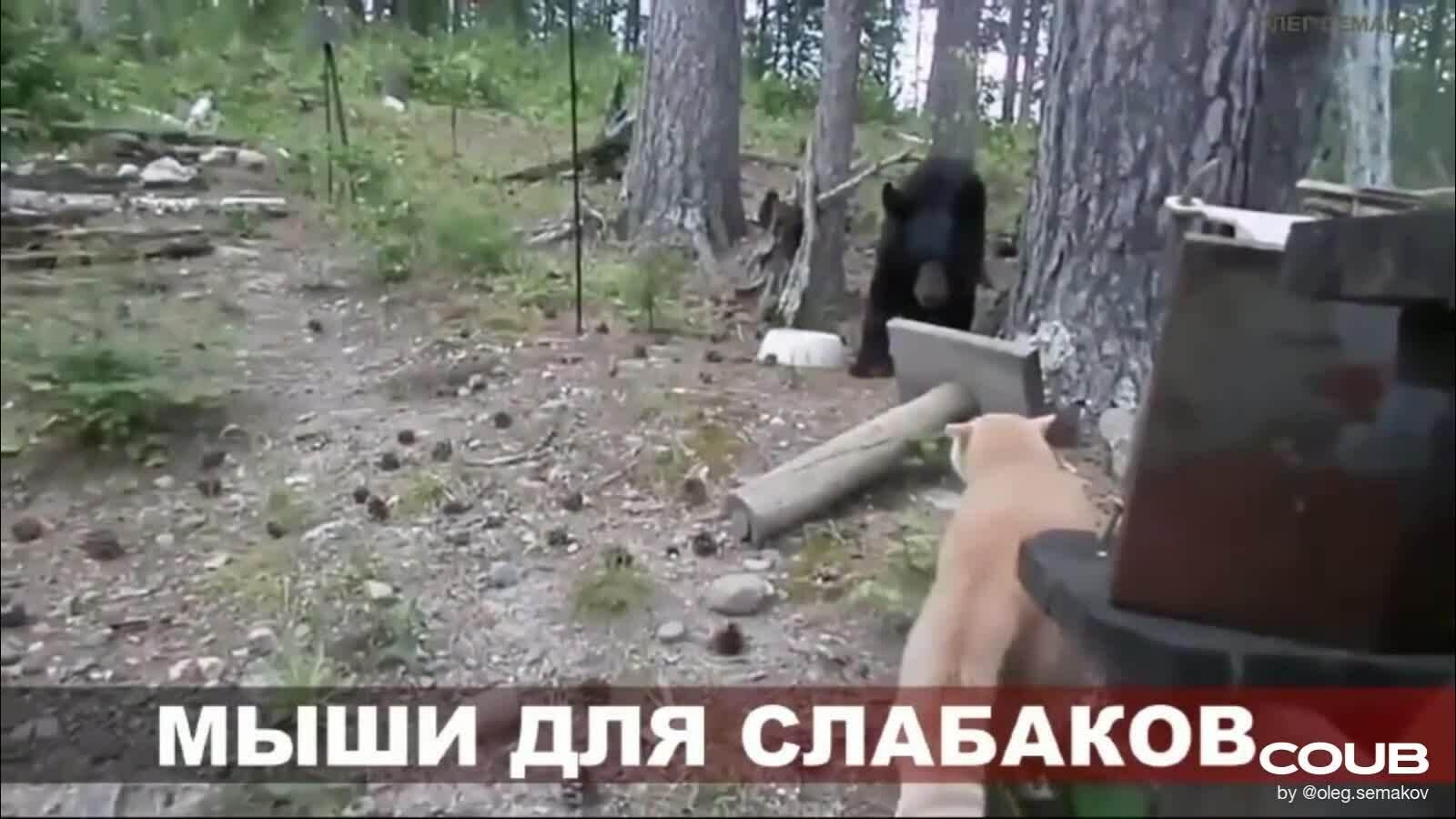 Gấu leo lên cây vì bị báo dọa