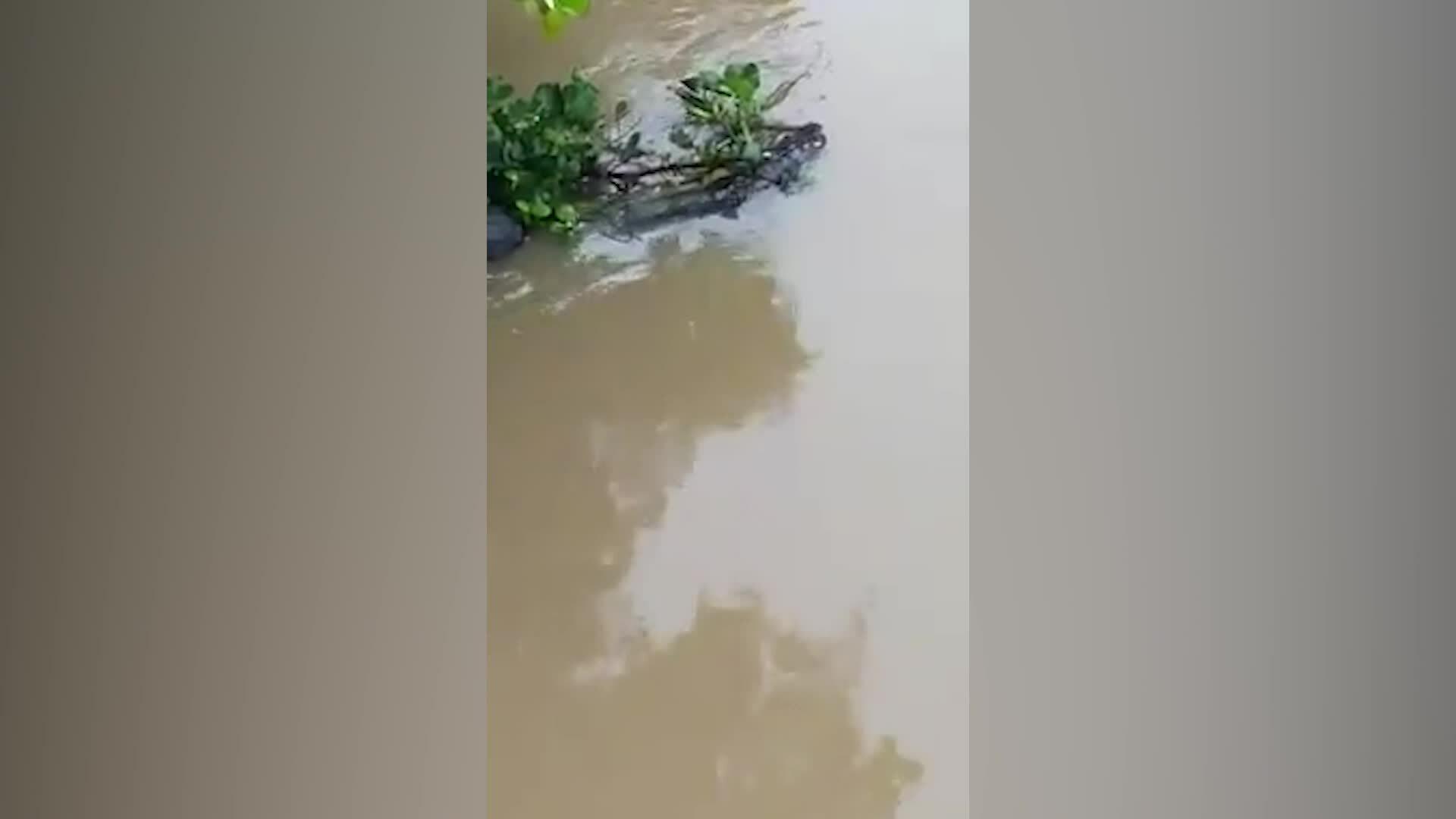 Vây bắt cá sấu 70 kg trên kênh