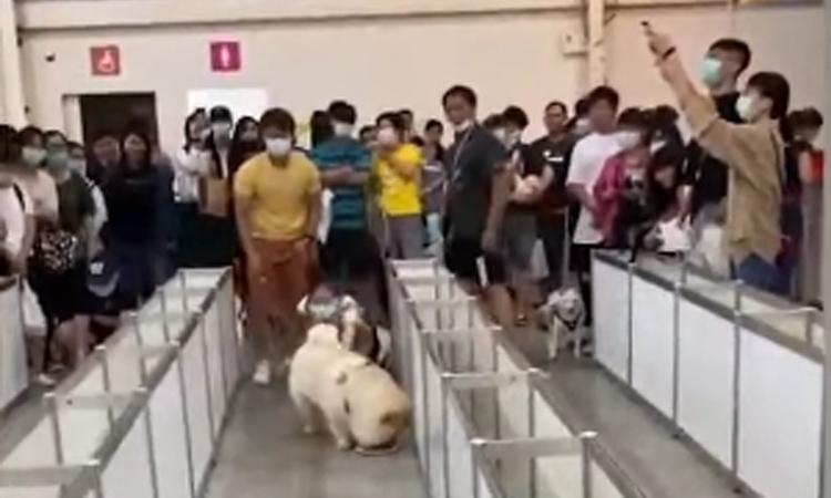Chó cưng thua cuộc khi chạy đua vì tham ăn