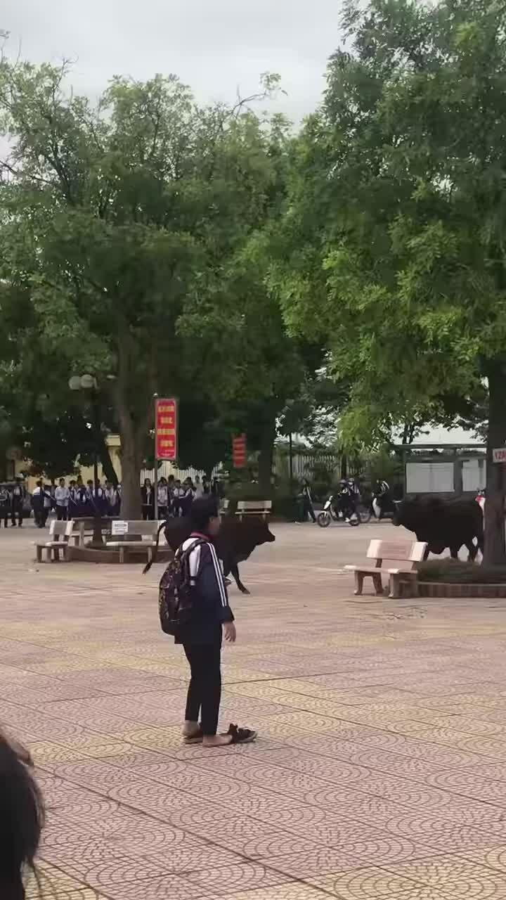 Hai con bò chơi đùa khi 'đi học'