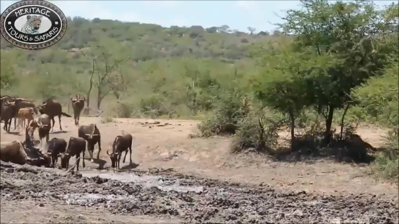 Báo hoa mai lao xuống bùn vồ linh dương đầu bò