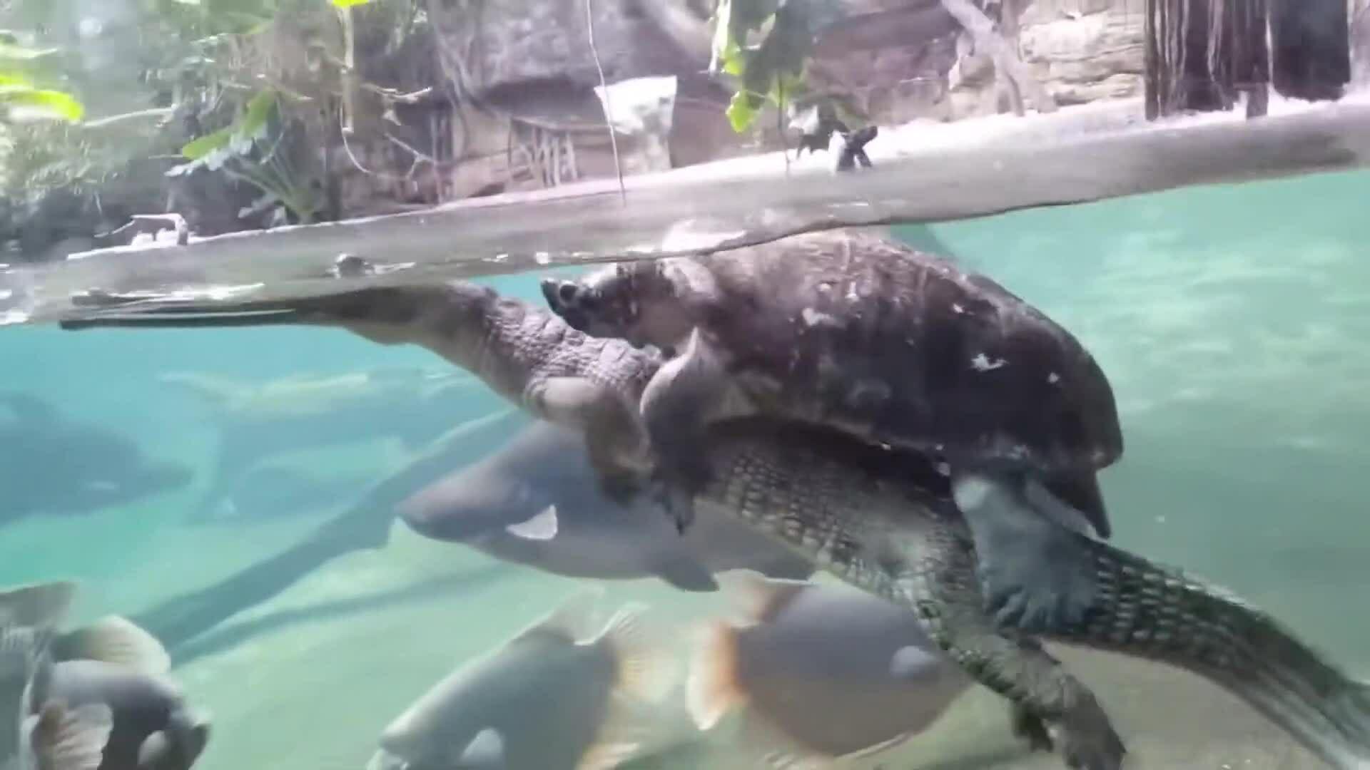 Rùa cưỡi cá sấu dạo trong hồ