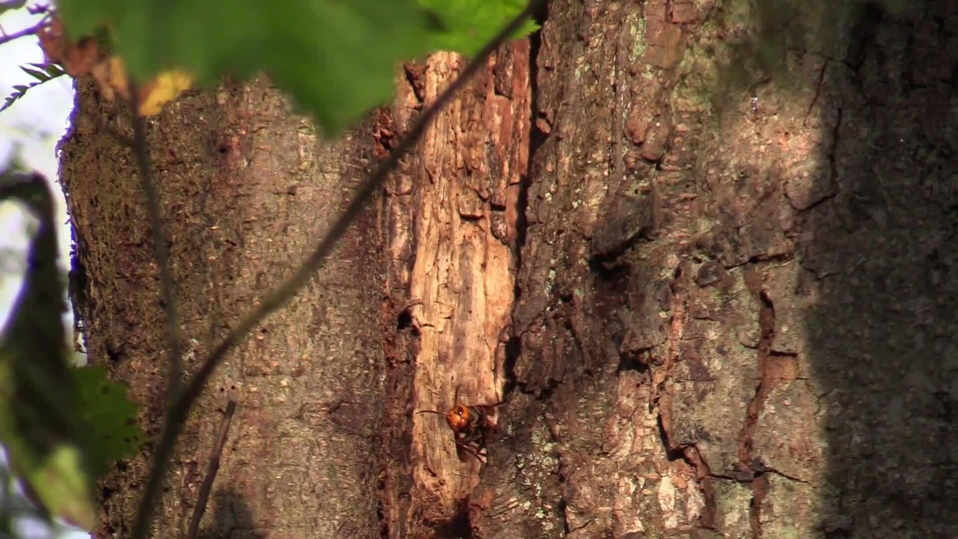Tìm thấy tổ ong bắp cày 'sát thủ' đầu tiên ở Mỹ