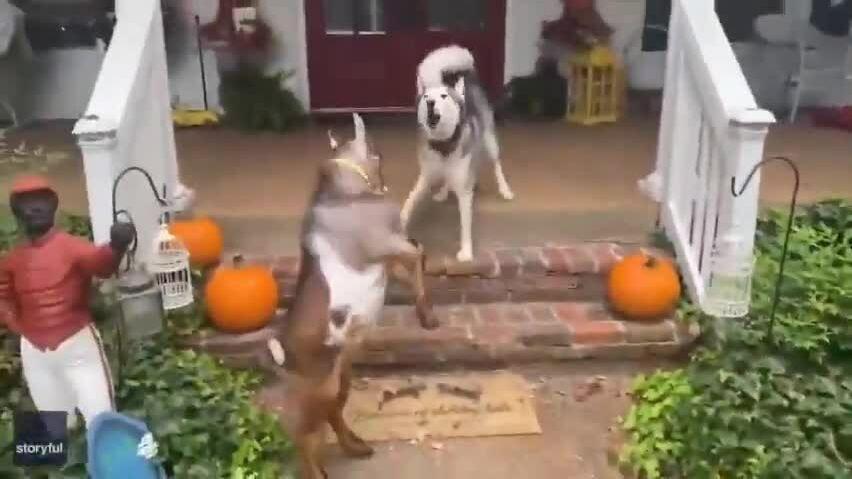 Dê liên tục trêu chọc chó Husky