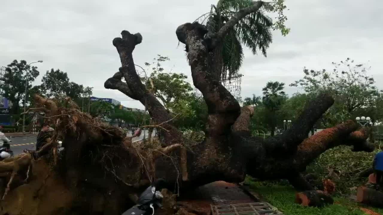 Video cây xà cừ đổ ở Huế