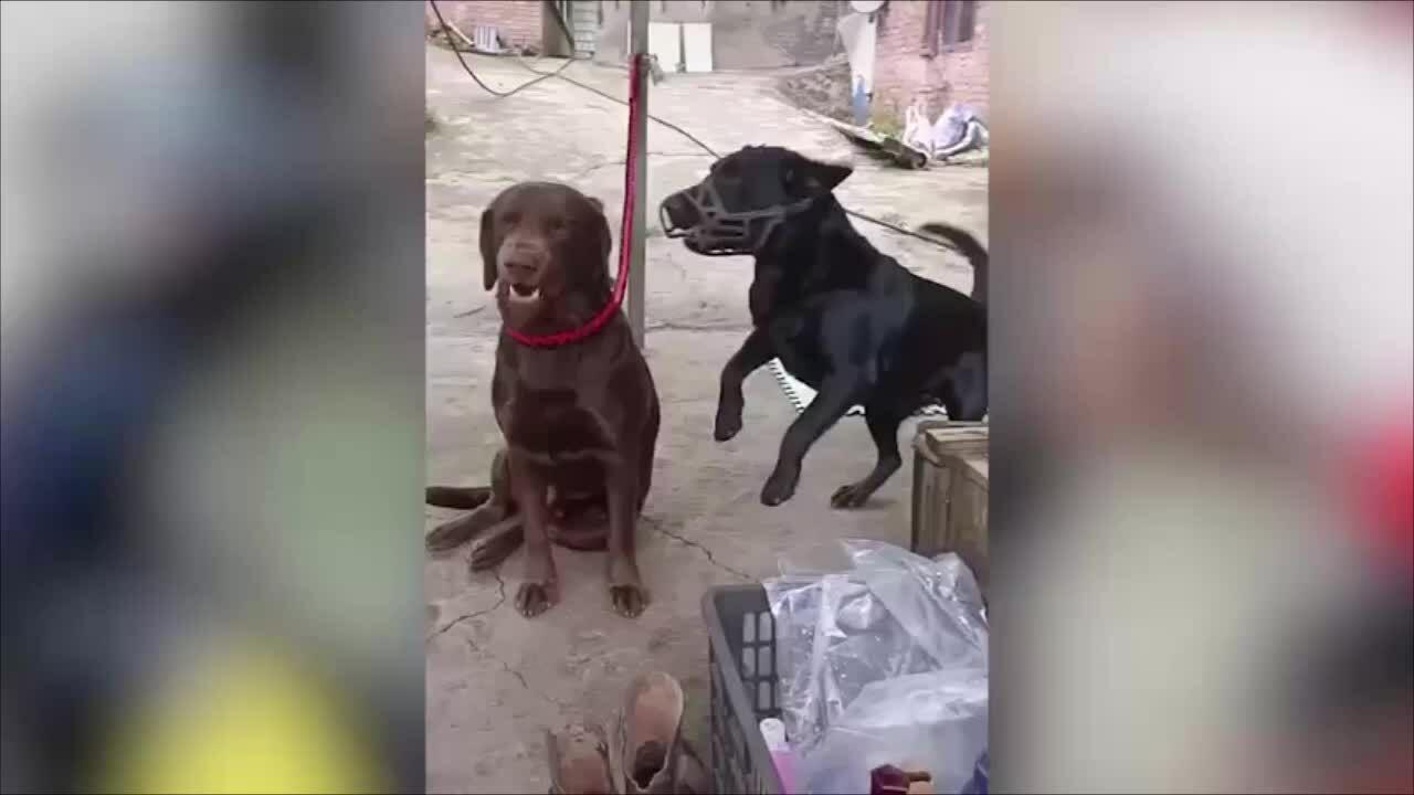 Chó mặc kệ khi đồng loại sủa vào mặt...