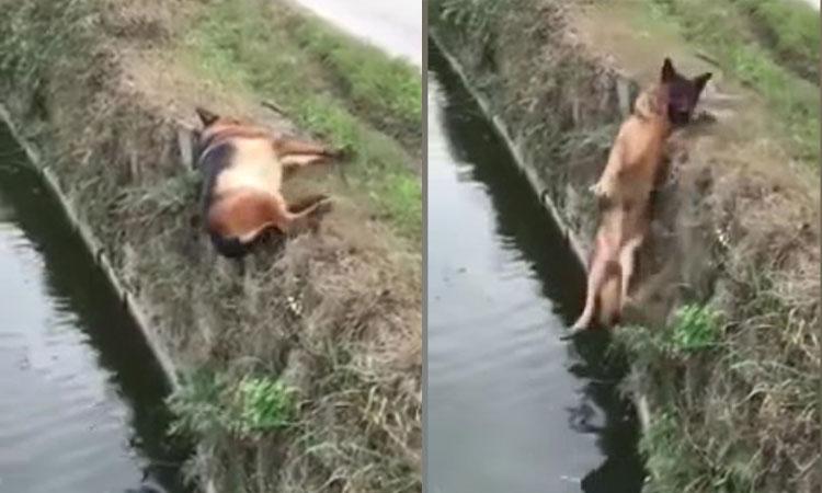 Chú chó rơi xuống ao vì ngủ say