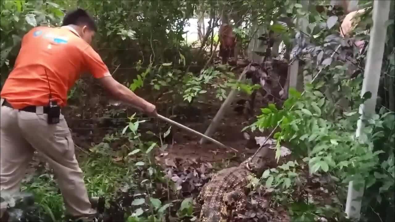 Cá sấu mò vào nhà dân trộm gà