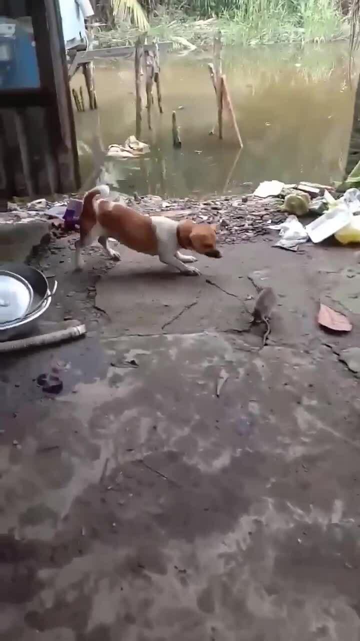 Chuột cống đối đầu chó nhà