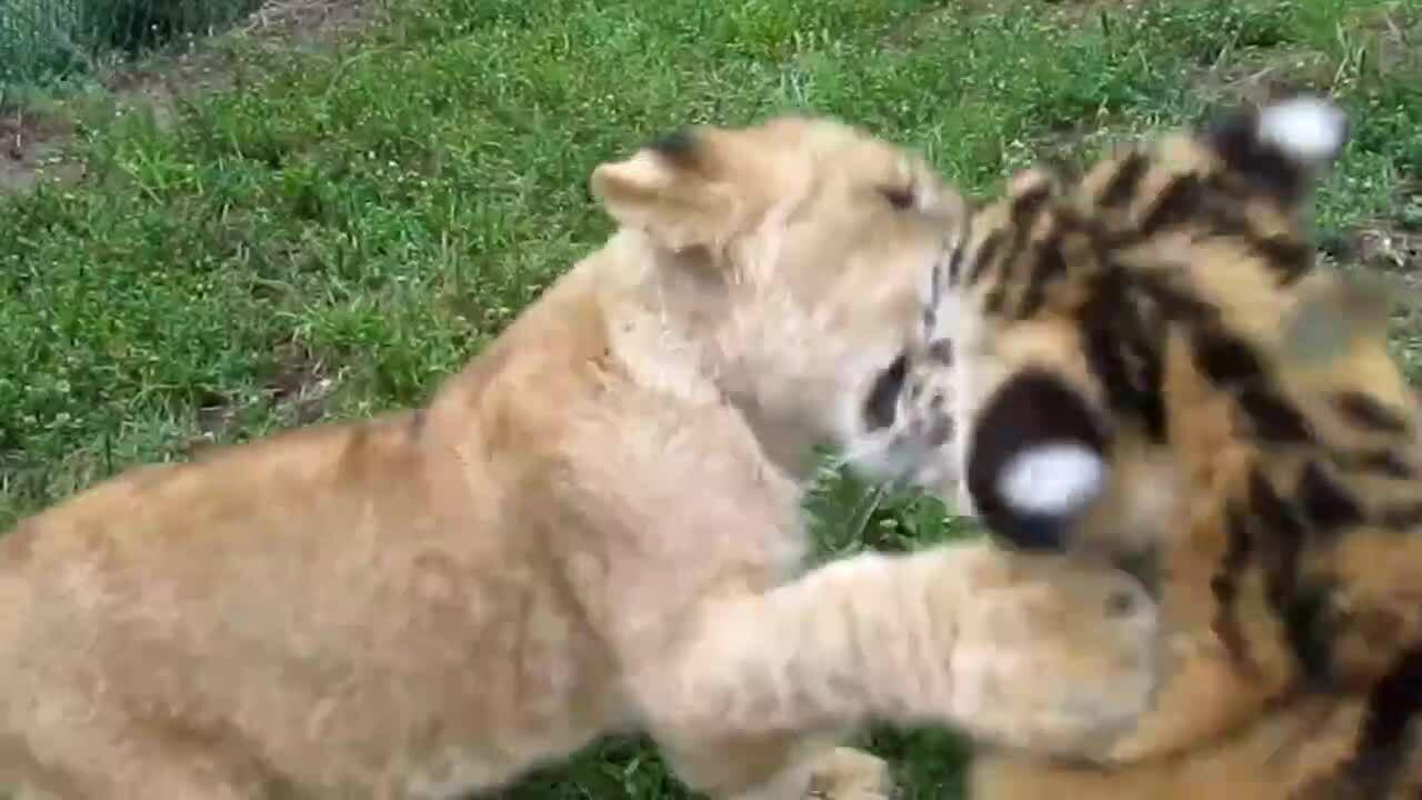 Sư tử con và hổ con tát nhau hút triệu lượt xem