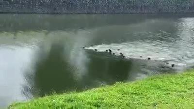 Hai 'gia tộc' rái cá tuyên chiến giữa sông
