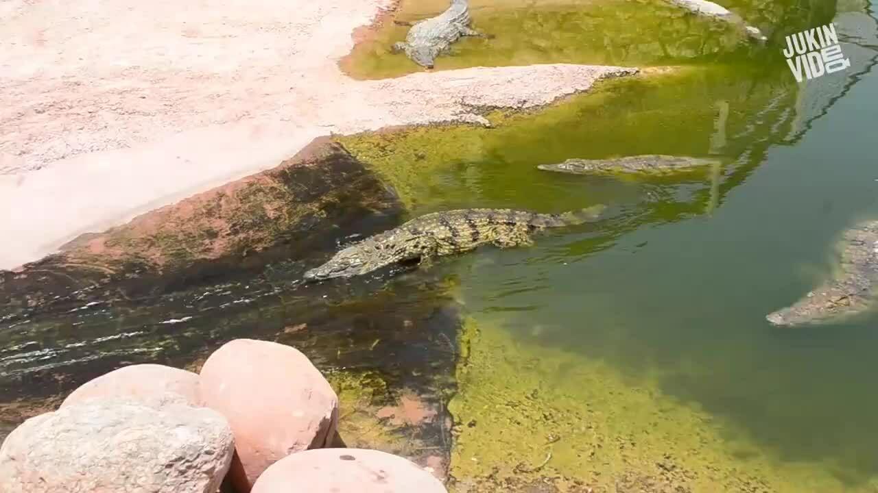 Cá sấu chơi trượt nước