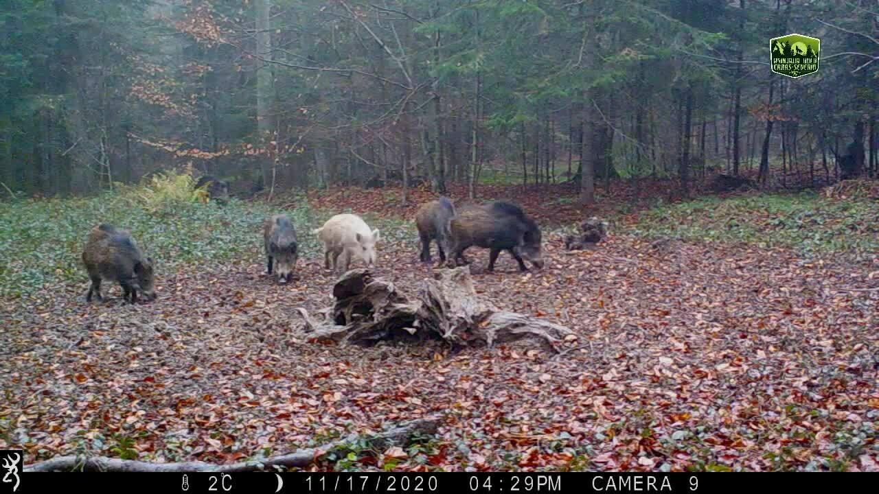 Lợn rừng trắng muốt xuất hiện tại Romania
